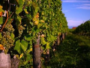 Vines in yard